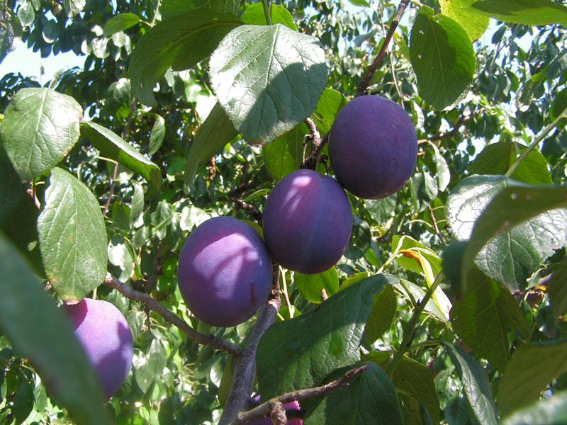 prunes1